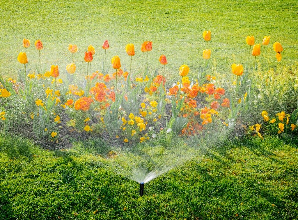 tulips being watered